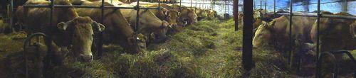 alignement vaches