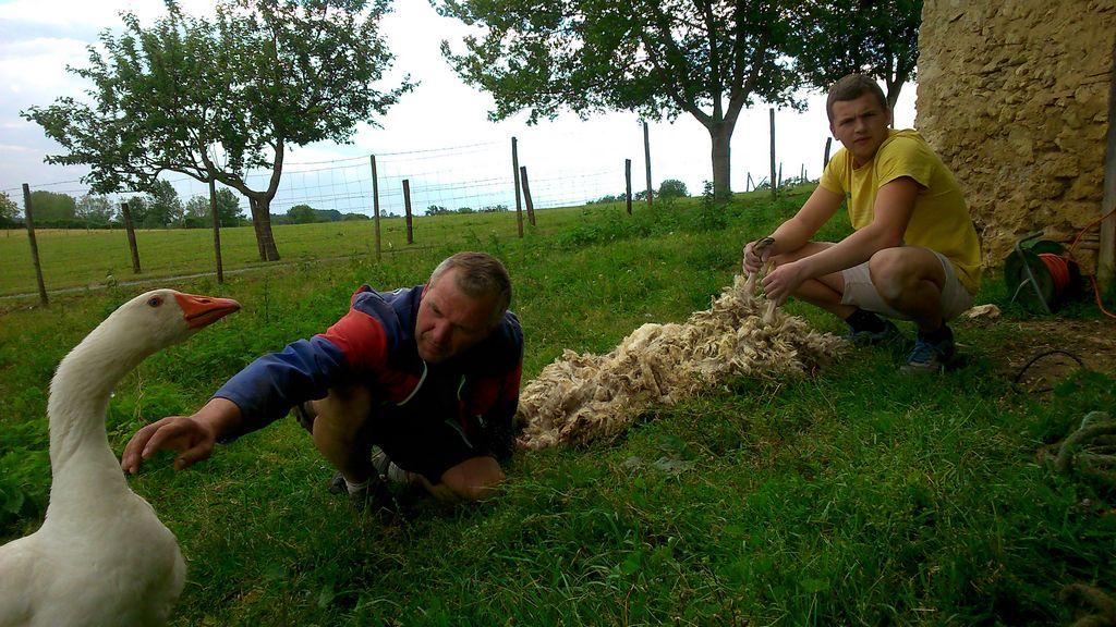 tonte moutons 1