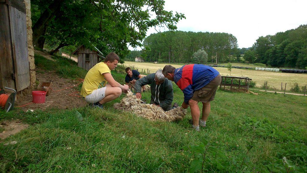 tonte moutons 3