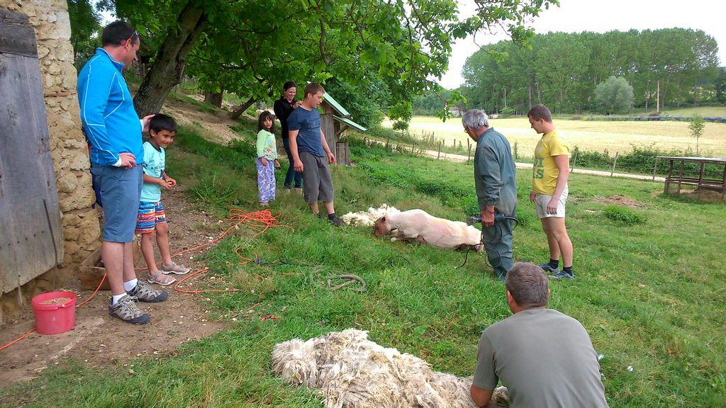 tonte moutons 6