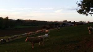 Lever du soleil sur le troupeau et la structure en cours