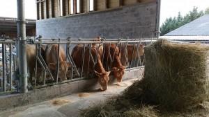 Quel confort pour ces jeunes vaches!